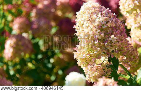 Pretty Geranium Sylvaticum Enjoy Flowering In Garden.or Common Name As Wood Cranesbill Or Woodland G