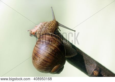 Snail Crawling On A Branch. Shallow Depth Of Field.