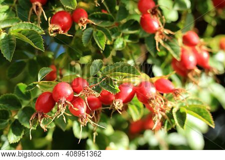 Bunches Of Vibrant Red Rose Hip Fruits Ripening On The Trees