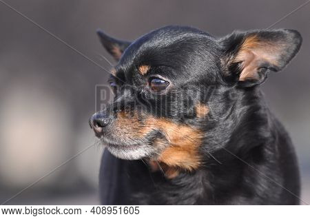 Russian Toy Terrier. Toy Terrier Close-up. A Black Dog. Little Dog