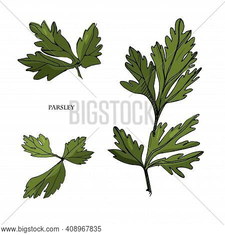 Parsley Sketch Illustration.detailed Hand Drawn Style Sketch.kitchen Herbal And Food Ingredient. Cul