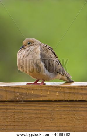 Mourning Dove Sitting In The Rain