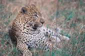 African leopard lying in grasses. South Africa poster