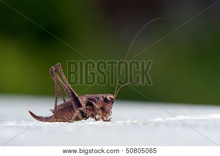 The Dark Bush-cricket (Pholidoptera Griseoaptera), Female