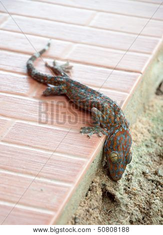 Dead gecko on the ground. (Reptile gecko)