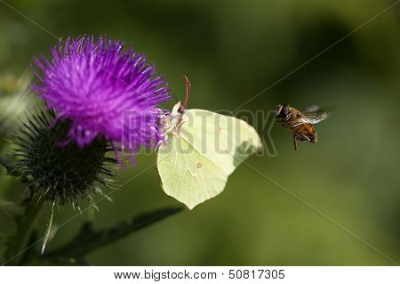 Brimstone - thistle - hoverfly