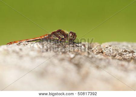 Common Darter - macro shot