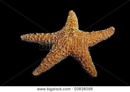 Starfish On Black