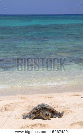 Hawaiian Turtle And Sea.