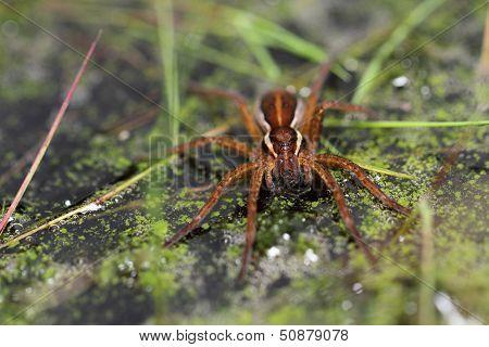 Female Great Fen Raft Spider (Dolomedes plantarius)