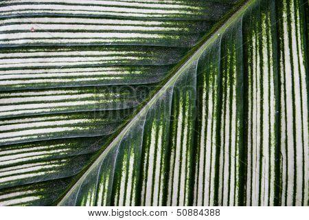 Dieffenbachia Green Leaf Background Texture Pattern.