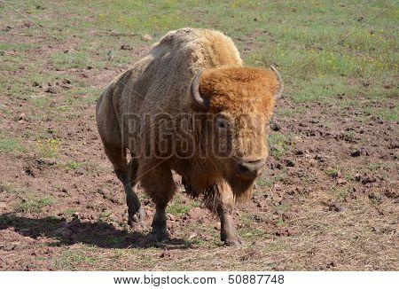 White bison walking