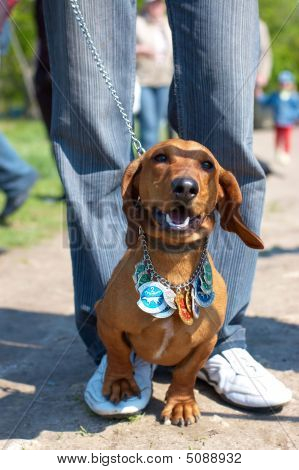 Dachshund With Hunter Awards