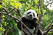 Baby Giant Panda in a tree in Chengdu China poster