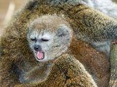 Lac Alaotra gentle lemur (Hapalemur alaotrensis) baby poster