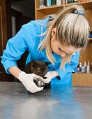 veterinarians cuts nails of cat in veterinary station poster