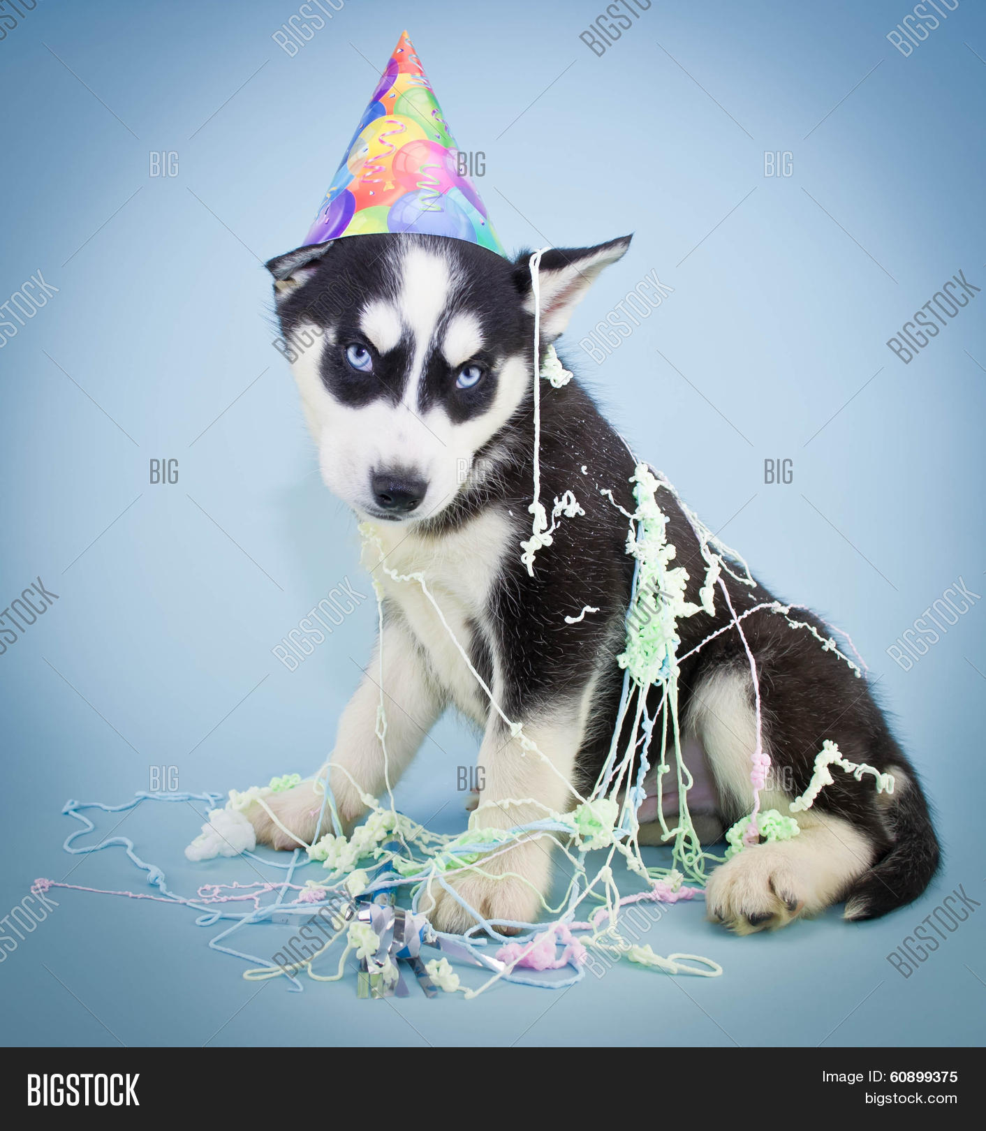 A Very Cute Husky Puppy Wearing Birthday Hat With Silly String All Over Him Sweet Look On His Face