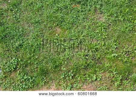 Green Grass Natural Background. Top View