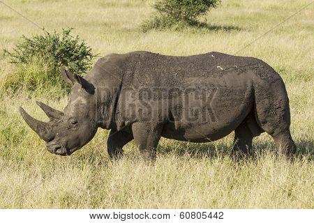 White Rhino (ceratotherium Simum) Walking