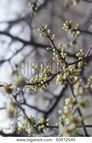 Spring Blossom Buds
