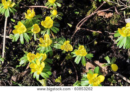 Early Springflower