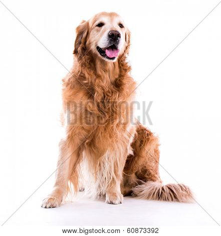 Beautiful dog sitting down - isolated over a white background poster