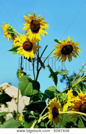 Sunflowers on sky background