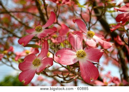 Pink Dogwood - 1