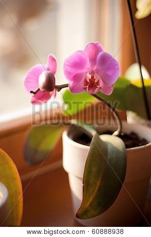pink orchid in the pot is on the window poster