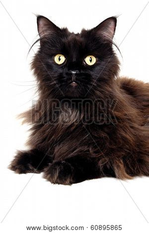 Black cat is resting on a clean white background