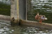 single duck standing on a quayside structure poster