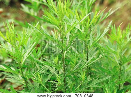 green mugwort plant in grow at garden poster
