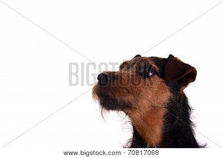 Attentive Terrier Head shot