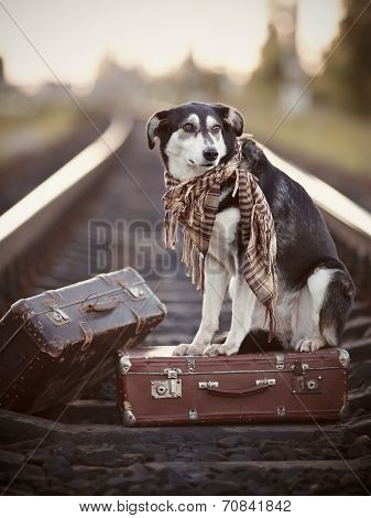 Black-and-white Dog Sits On A Suitcase On Rails