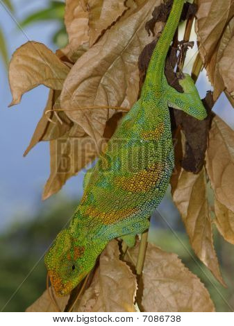 Chameleon On Leaves