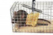 Scoop or mouse trap with a mouse trapped with a piece of bread poster