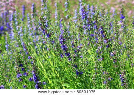 Growing English Lavender, Lavandula Angustifolia