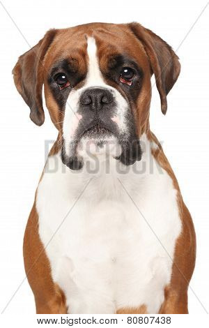 Boxer Dog On Isolated White Background