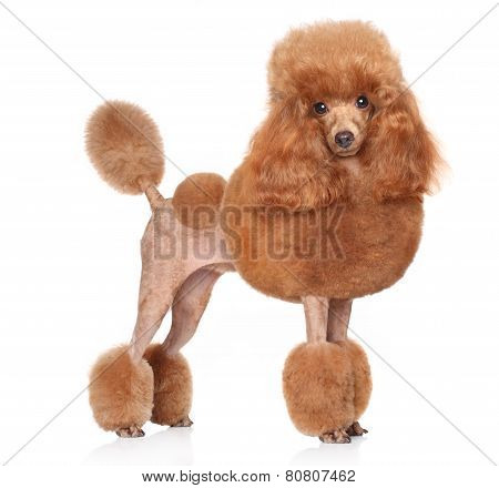 Toy Poodle On A White Background