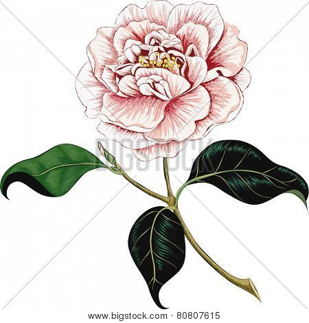 Camellia flower isolated on a white background