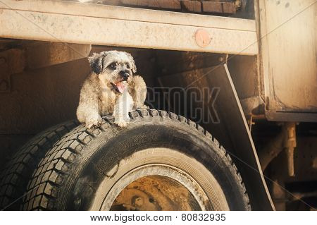 Purebred Curly Brown Dog Lying On Tire