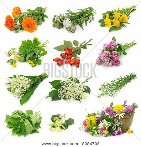 Collection of fresh medicinal herb isolated on white background poster