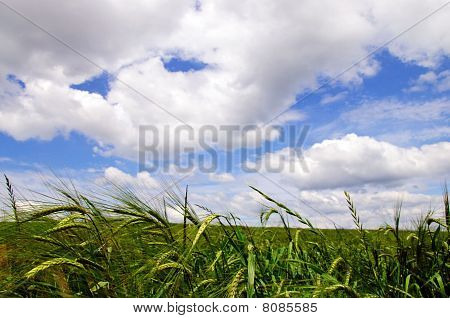 Belorussian  Wheat Field