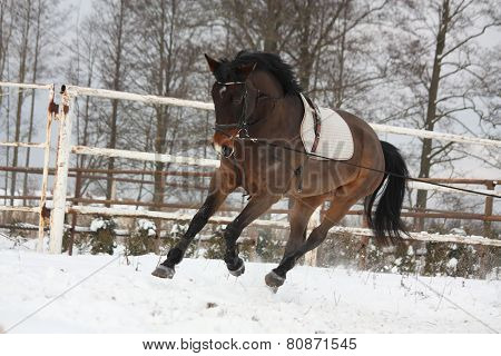 Brown horse working on the lunge in winter poster