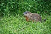 ground squirrel is waiting for dinner in the forest poster