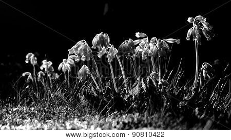 Black White Cowslip Flowers In Spring