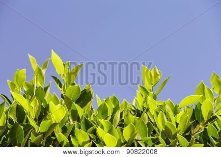 Bright Green Leaves Against The Blue Sky, At The Bottom Of The Frame, Sheets Of Light