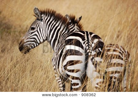 Zebras Hiding In The Grass