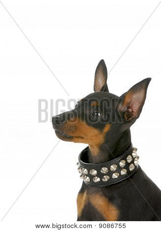 Puppy Wearing Studded Collar