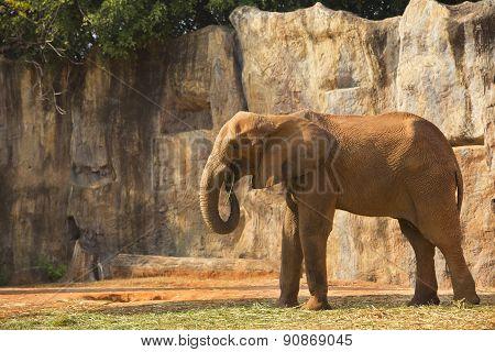 African Elephant Feeding Morning Glory.